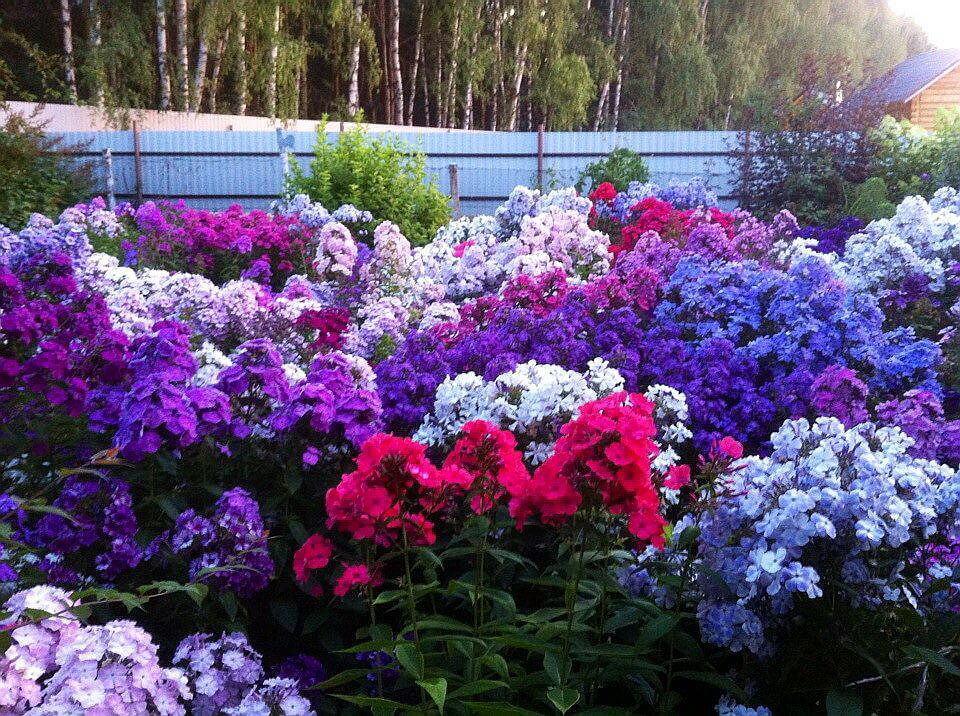 Как вырастить флоксы многолетние: советы опытных цветоводов