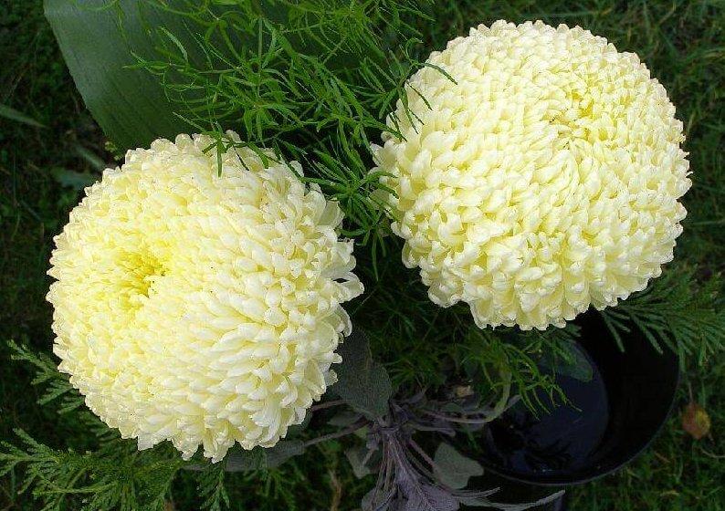 Одиночные хризантемы