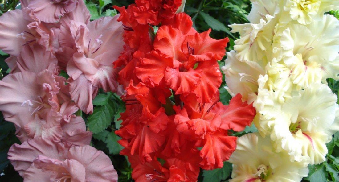Цветение гладиолусов