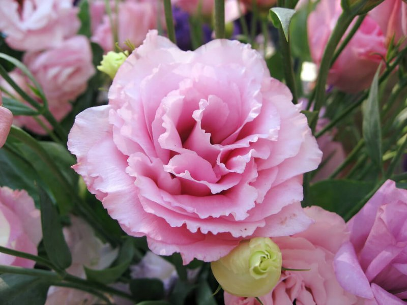 Цветок эустома: посадка и уход за кустом домашним, садовым
