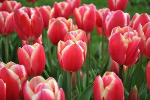 Как вырастить тюльпаны из семян: размножение цветов