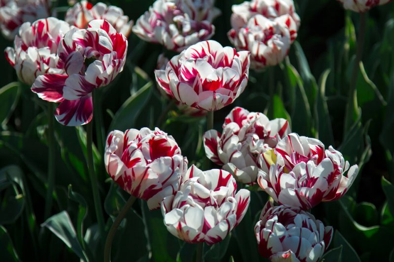 Тюльпаны Рембрандта