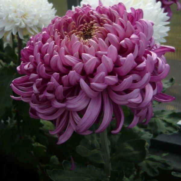Высокорослые хризантемы