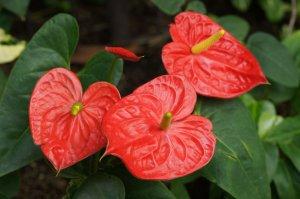 Мужской цветок антуриум: как ухаживать, правила полива и пересадки