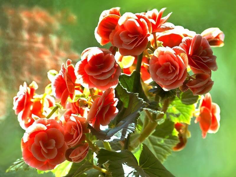 Тенелюбивые цветущие, декоративно лиственные, вьющиеся и пальмовые комнатные растения
