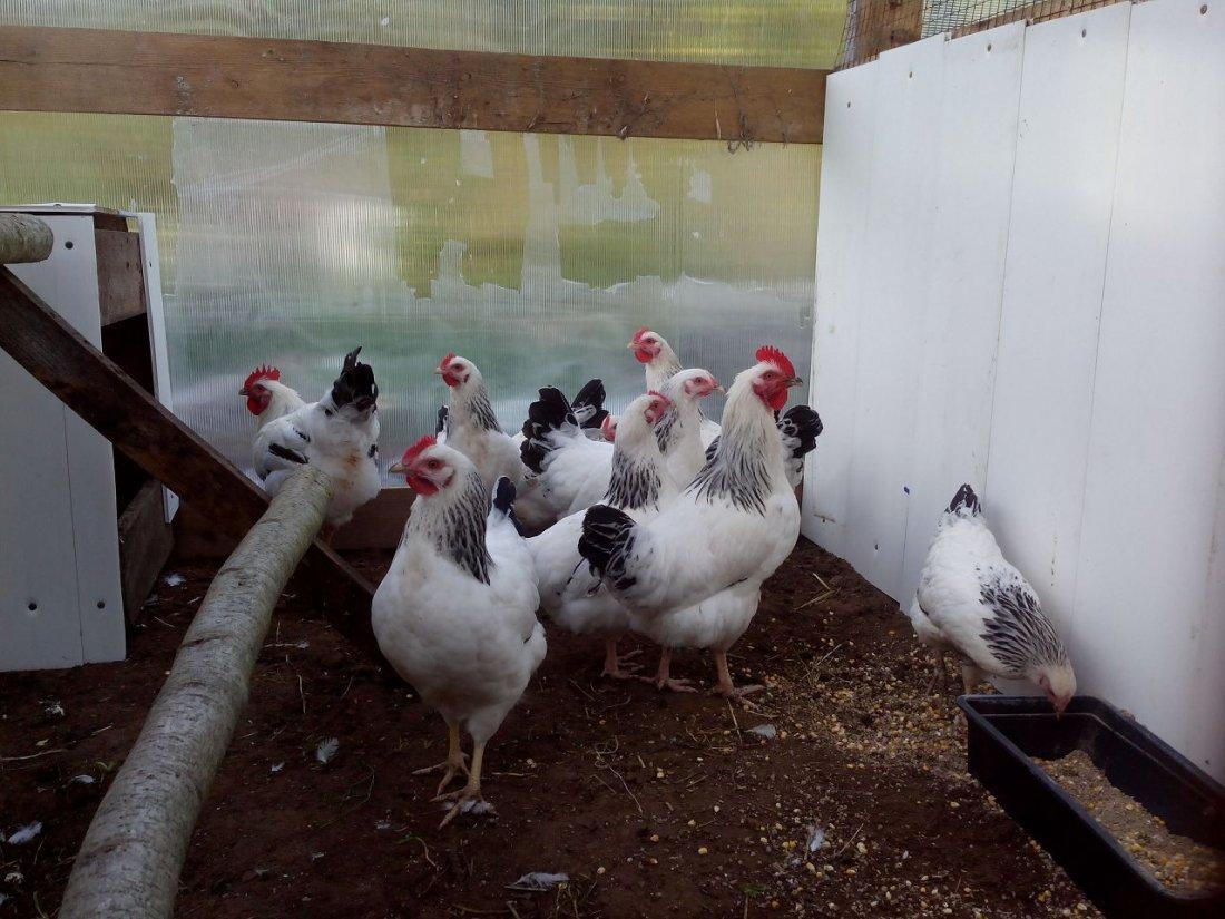 Кормление адлерских серебристых кур