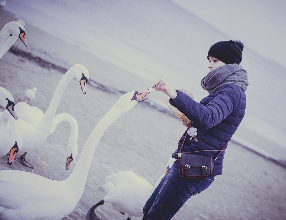 Кормление лебедей зимой