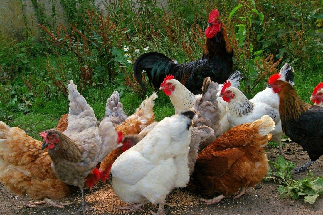 Курицы на участке