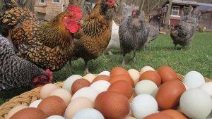 Какие куры самые яйценосные в условиях подсобного хозяйства