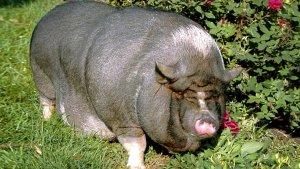Каким может быть максимальный вес свиньи