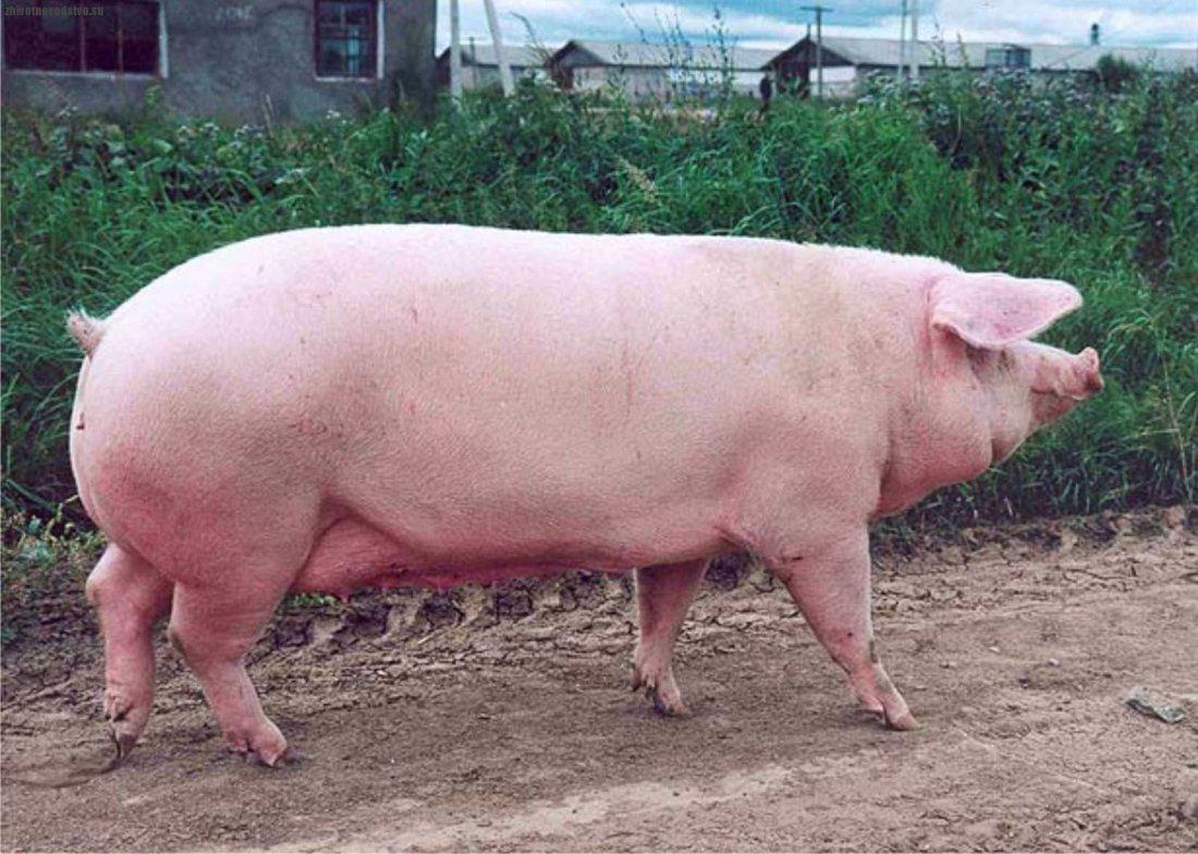 Масса свиньи