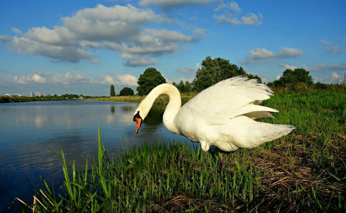 Обитание лебедей