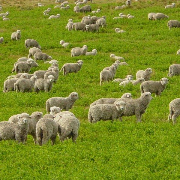 Овцеводство в России