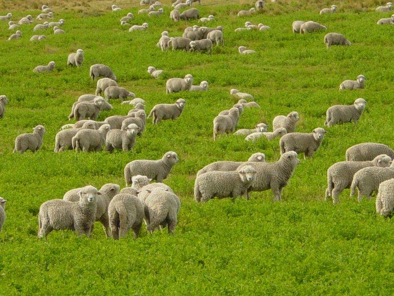 Бизнес план: овцеводство с расчетами, эффективная реализация планов