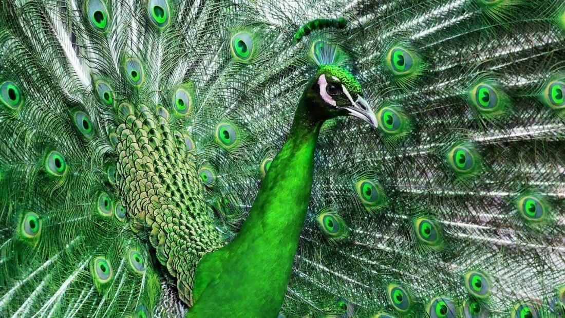 Павлин зеленый