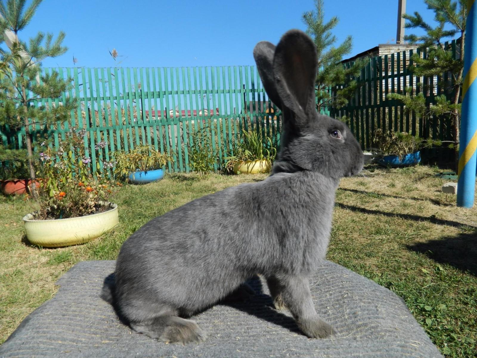 каким цветом кролик великан фото
