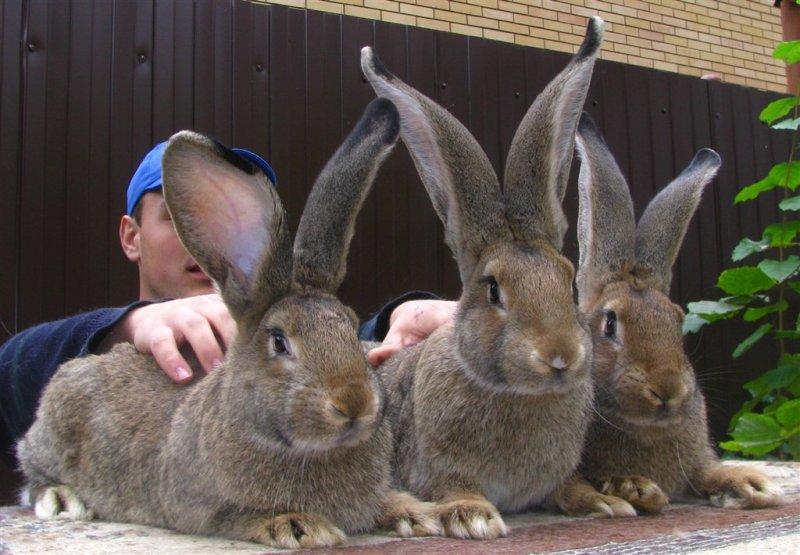 Приобретение кролей