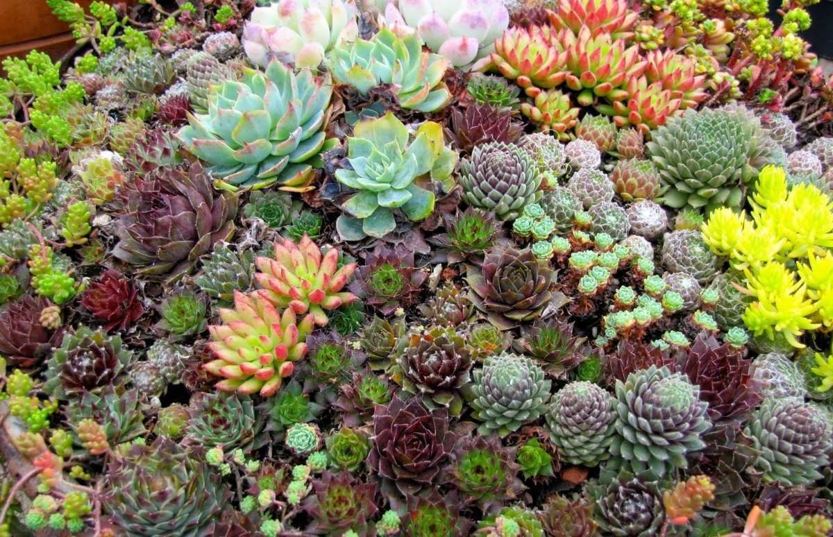 Виды суккулентов для дома и сада: названия сортов и правила ухода