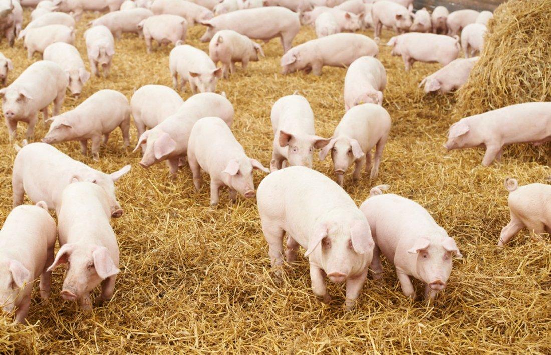 Свинодческая ферма