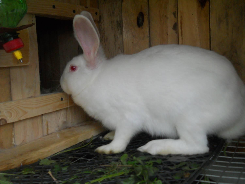 Мясная порода кроликов, которые быстро растут: обзор