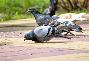 Чем кормить голубей в домашних условиях и на улице