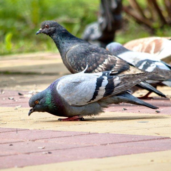 Уличные голуби