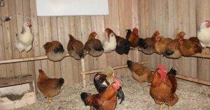 Выращивание кур в домашних условиях для начинающих: важные нюансы