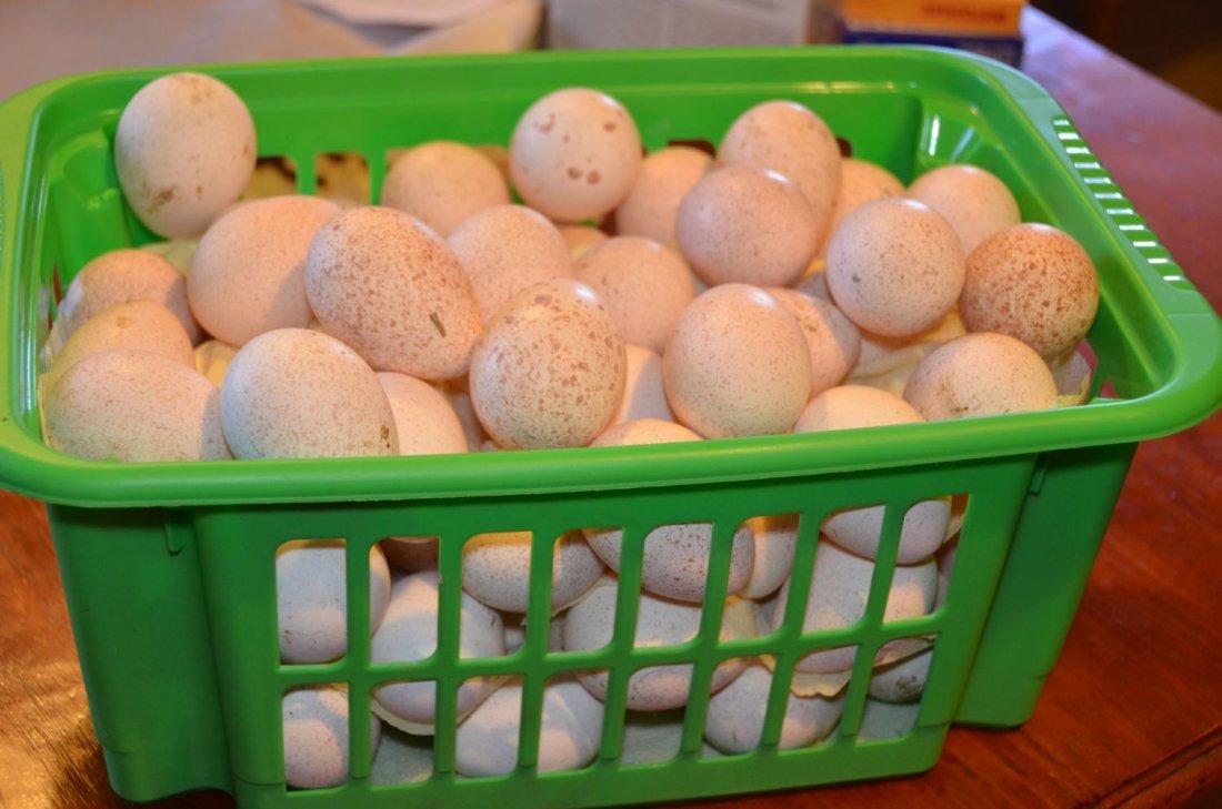 Яйцо индюшки