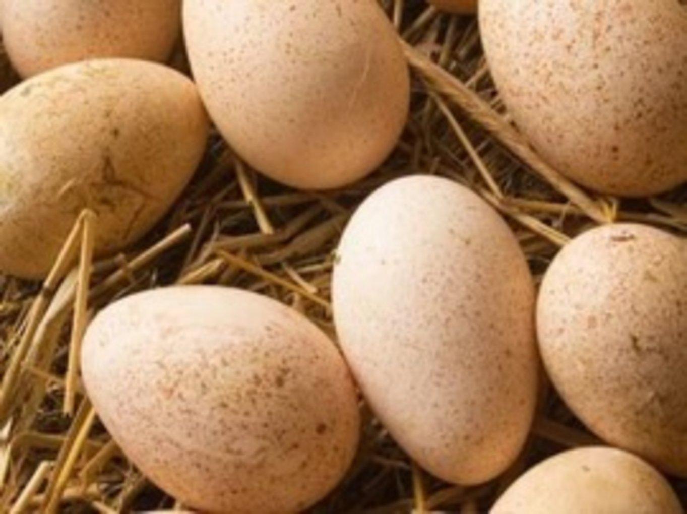 Яйценоскость индюшек: один из главных показателей птицы