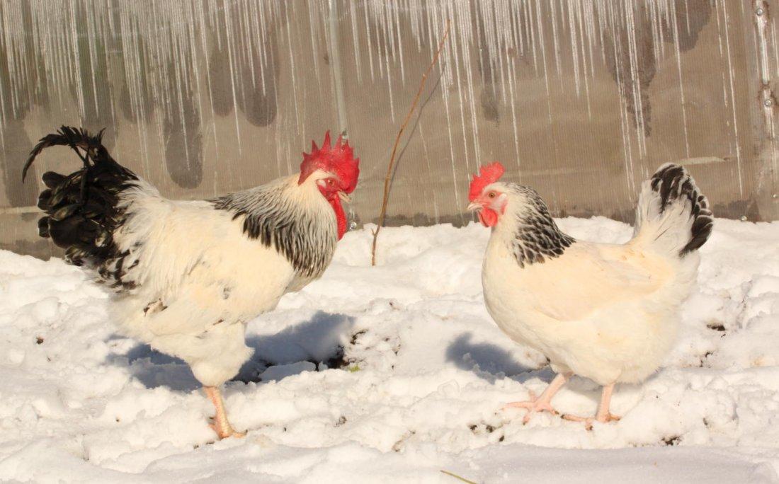 Зимнее содержание адлерских серебристых кур