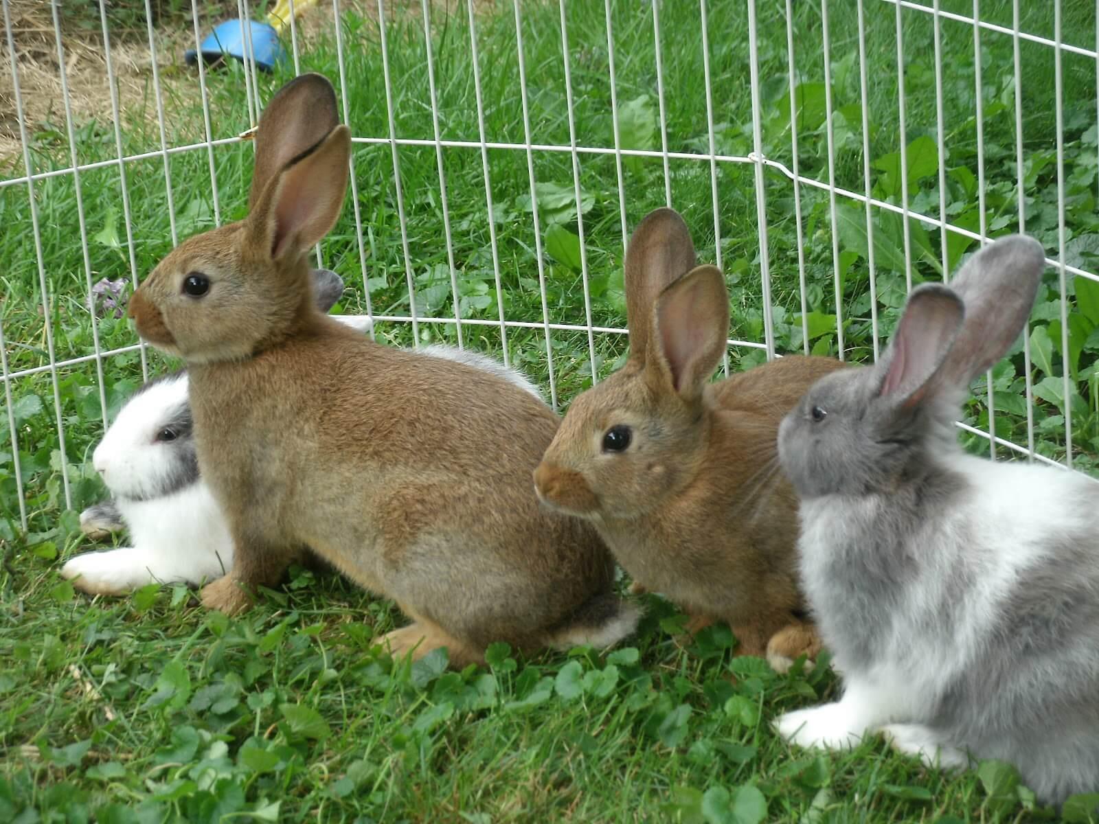 Белые пятна на печени кролика: от чего возникают и меры предупреждения