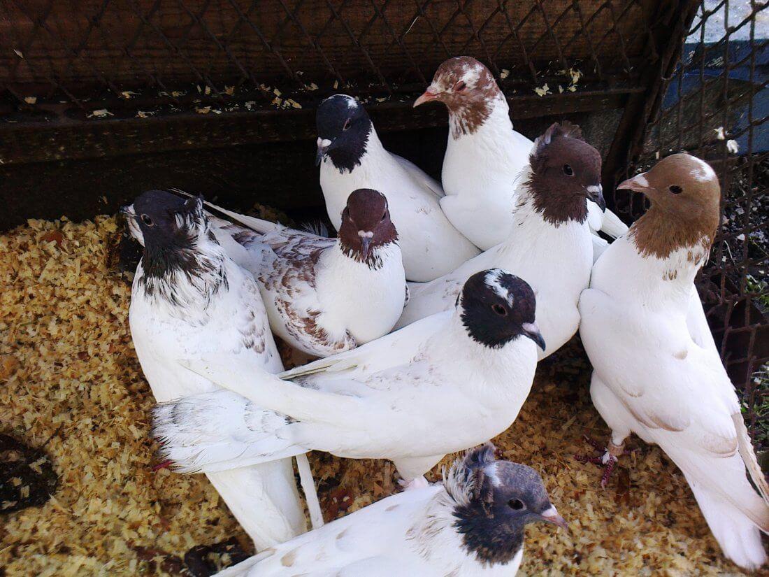 Головатые голуби