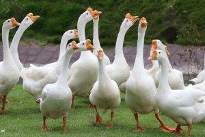 Гуси Линда: описание породы, достоинства и недостатки