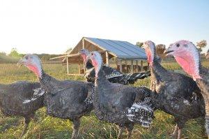 Индюшачья ферма: правила организации