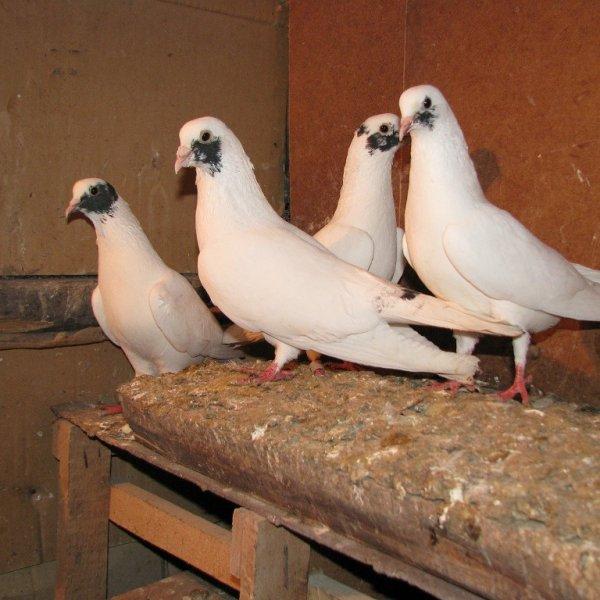 Иранские щекатые голуби