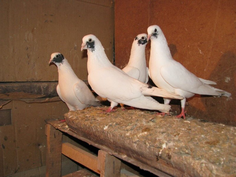 Голуби бойные иранские головатые, щекатые: внешний вид, особенности птиц