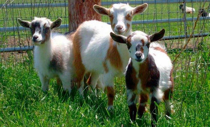 Камерунские козы на пастбище