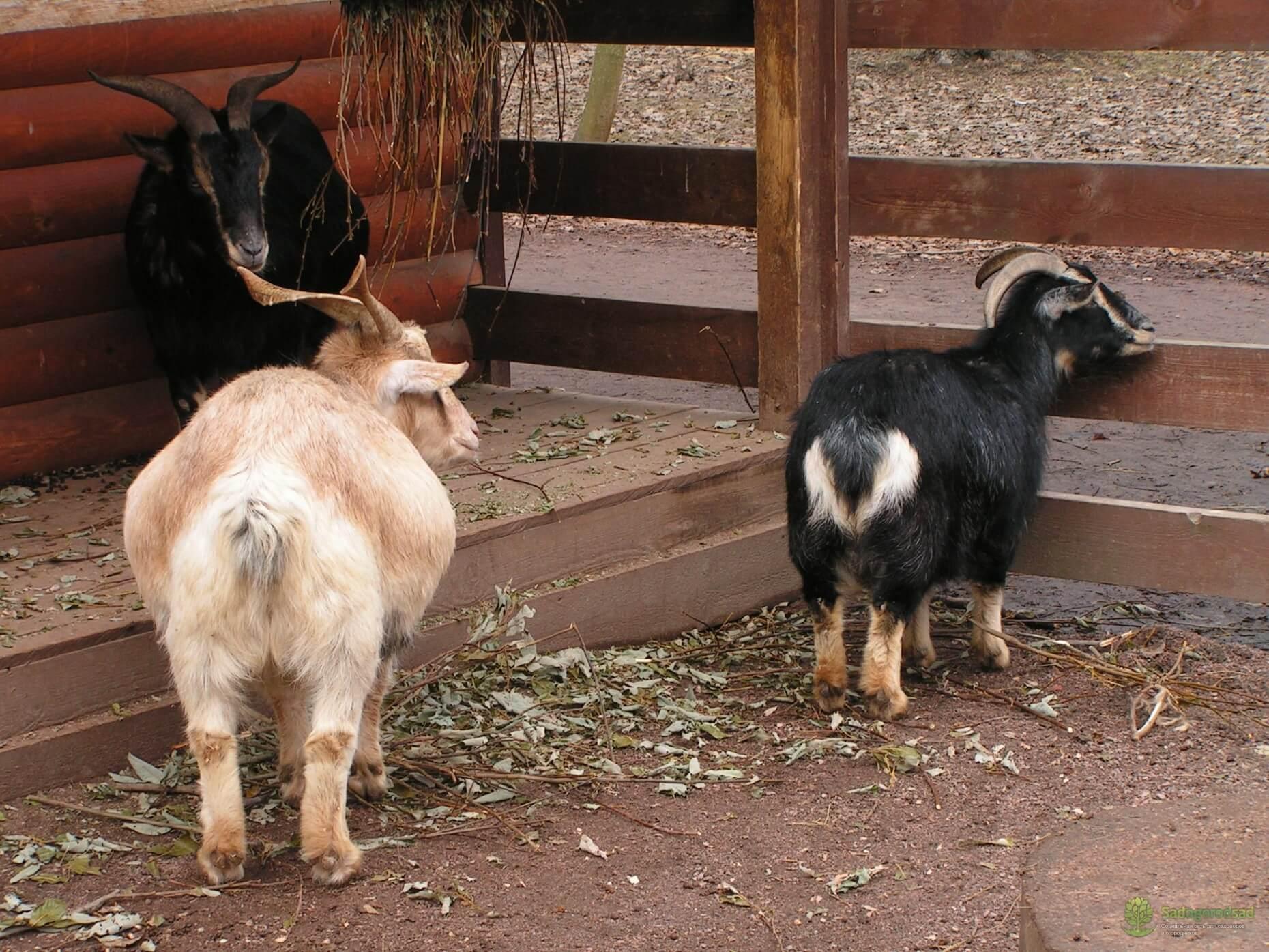 Камерунские козы: отзывы владельцев