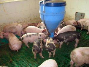 Для начинающего животновода или фермера важно знать, чем питается свинья