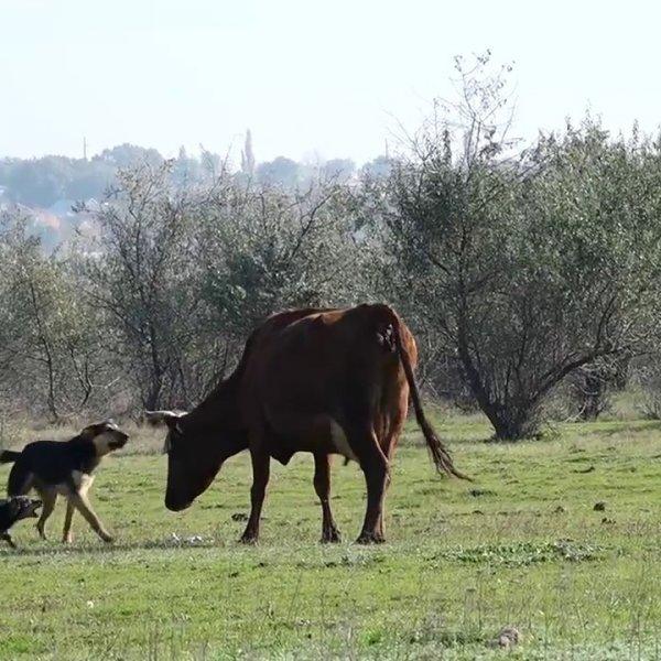 Корова и собаки