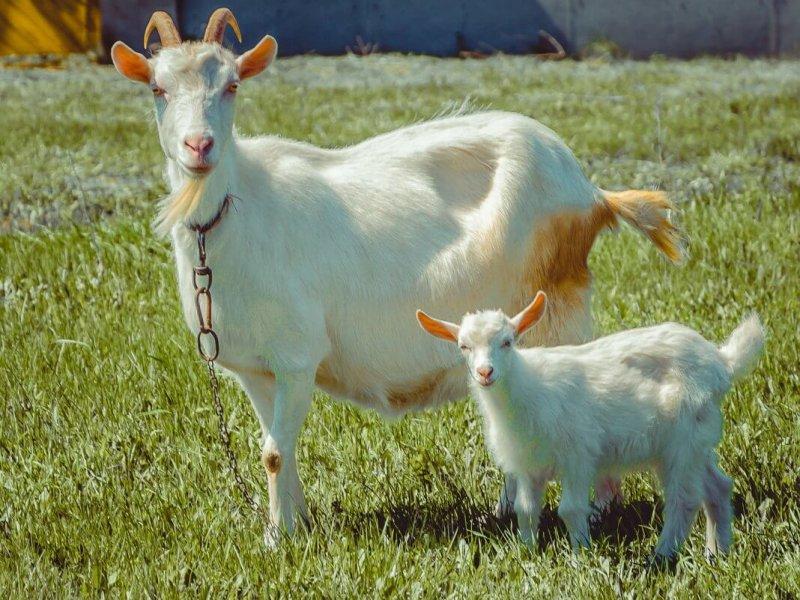 Все о козах: известные породы и особенности их разведения
