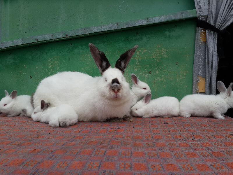 Как развивается кролиководство в Украине: содержание, разведение, заболевания