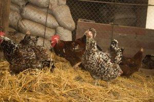 Ливенская ситцевая порода кур: возвращение к истокам