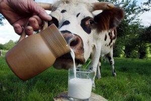 Лактация у коров: что это такое, какие факторы влияют на высокую выработку молока