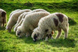 Полезно знать, чем кормить овец зимой и летом