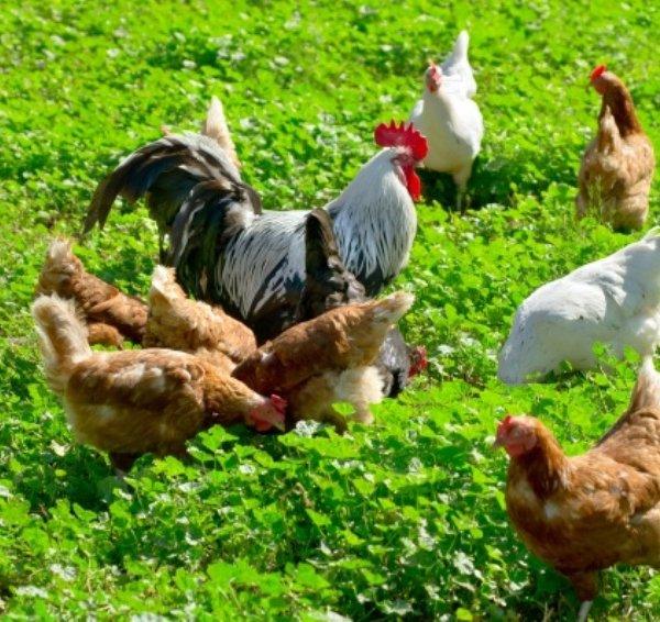 Петух в курином стаде