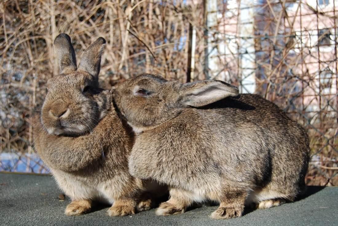 Подготовка к спариванию кролей