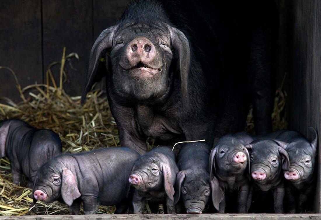 Разведение вислоухих свиней