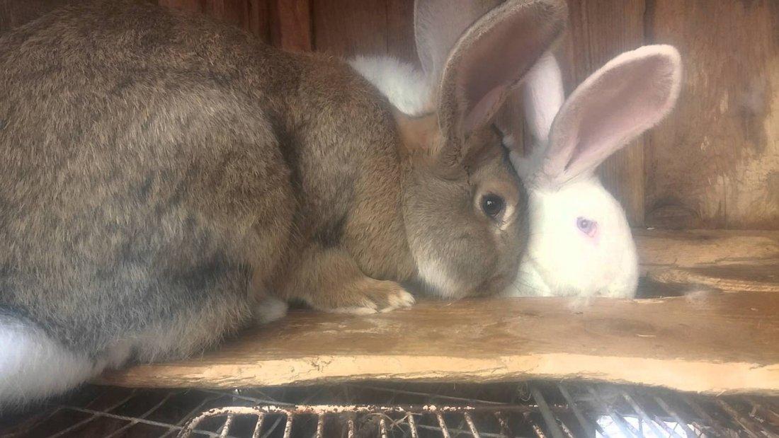 Случка разнопородных кролей