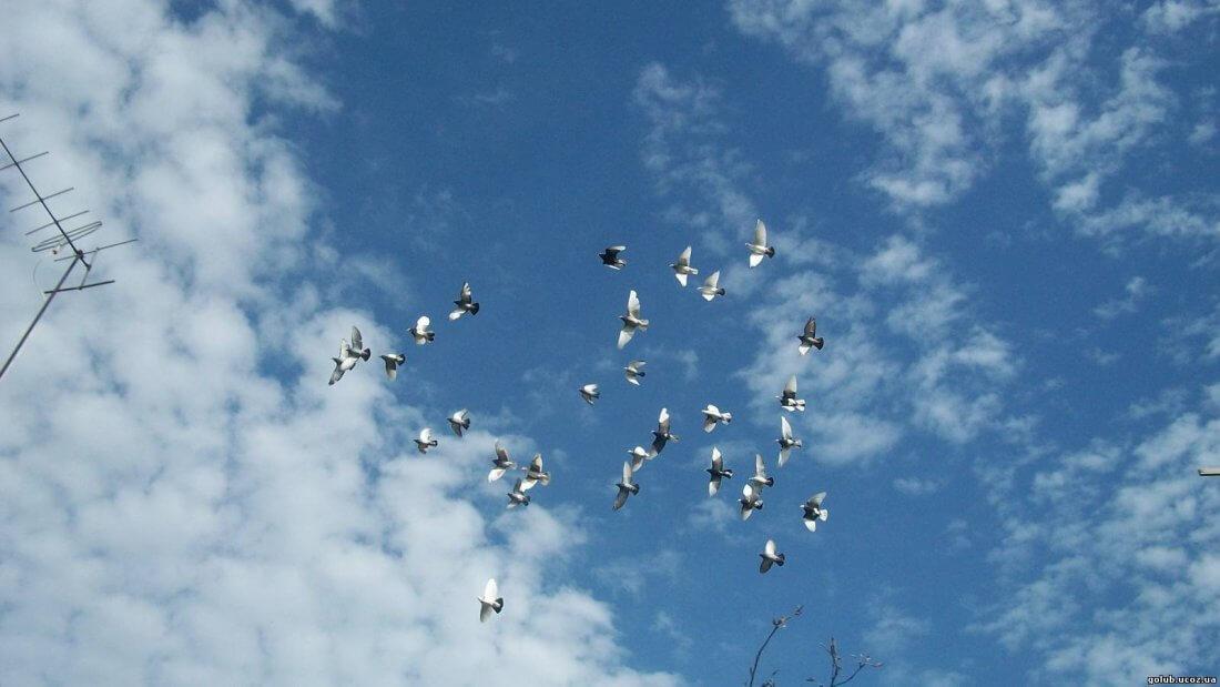 Стая голубей в небе